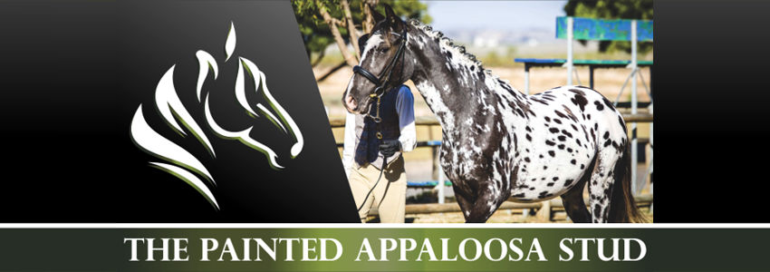 Painted Appaloosa Stud